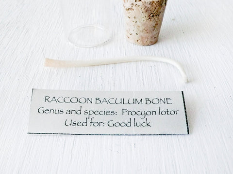 Raccoon Baculum Bone in Cork Vial
