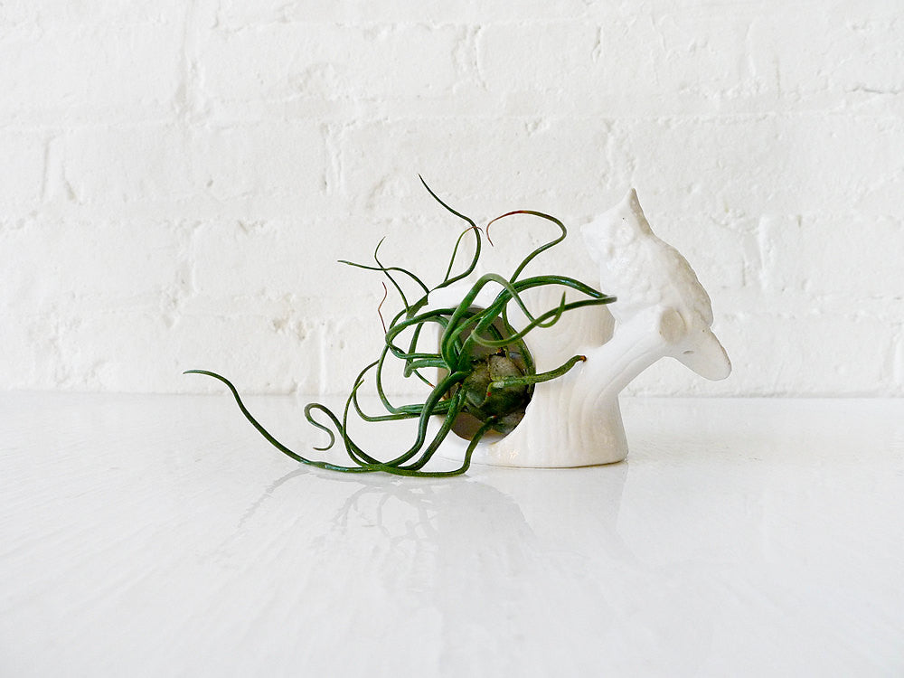 10% SALE Air Plant Inhabiting White Owl Tree Trunk