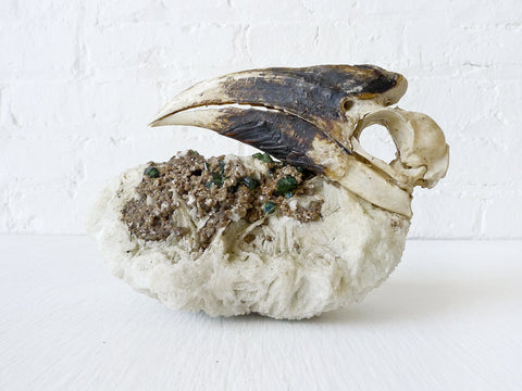Real White HornBill Bird Skull Nested on Matrix of Tourmaline Quartz Mica