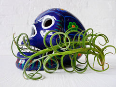 10% SALE The Day of the Dead Air Plant Garden with Live Vinery Plant