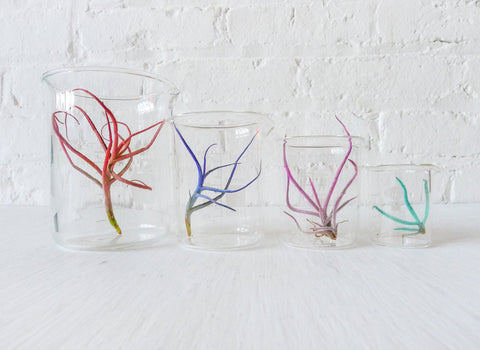 Color Air Plant Beaker Garden
