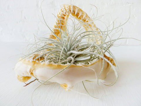 Real Shark Jaw and Teeth Air Plant Garden