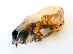 24K Gold Ombre Mink Skull - One of a Kind Science Specimen - Real Taxidermy