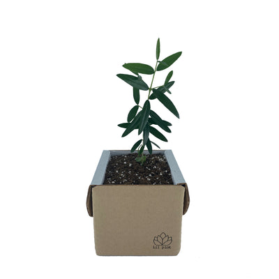 Olive Tree Growing Kit