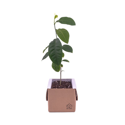 Lemon Tree Growing Kit