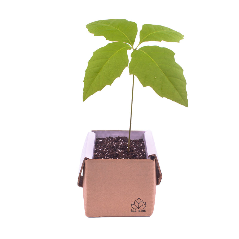 Oak Tree Growing Kit