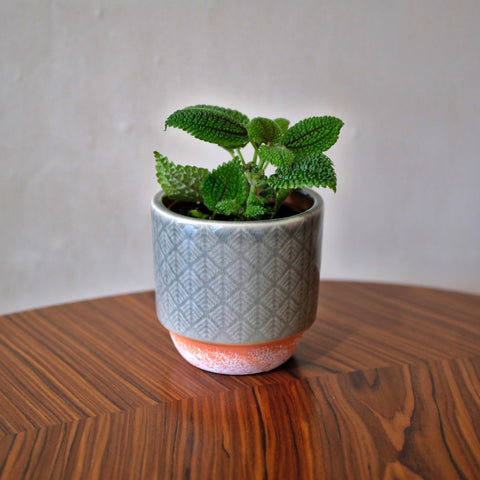 Pilea Moon Valley