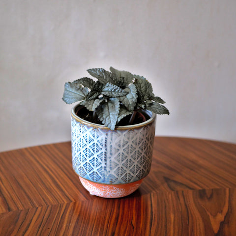 Pilea Silver Cloud