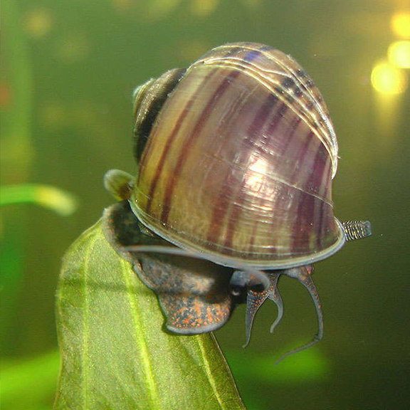 Apple Snail - Brown