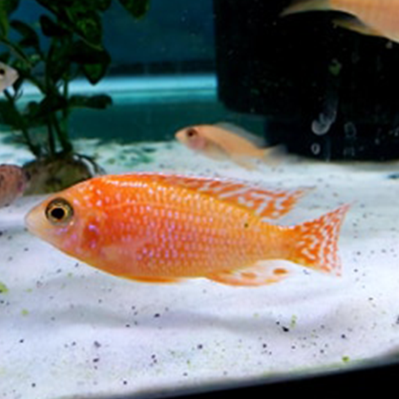 Dragons Blood Peacock Cichlid