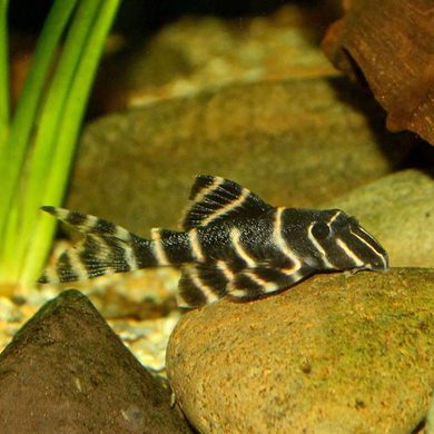 L204 Flash Pleco