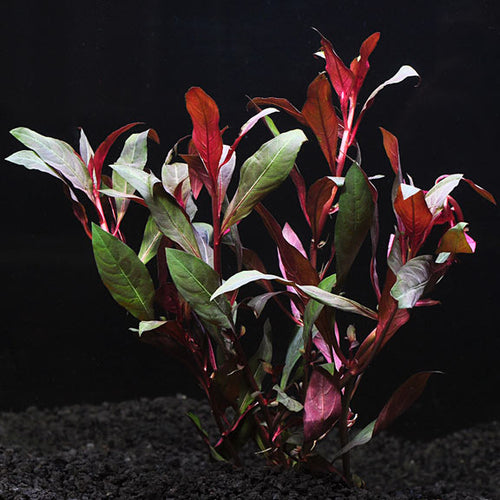 Ludwigia Red