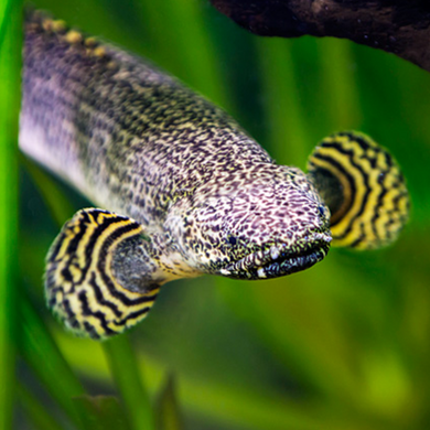 Ornate Bichir
