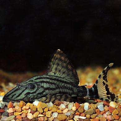L190 - Royal Pleco