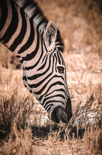 Zebra Savanne
