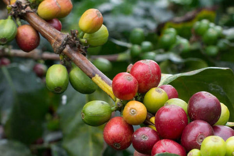 Devocion Coffee - Colombia Citrus Blend