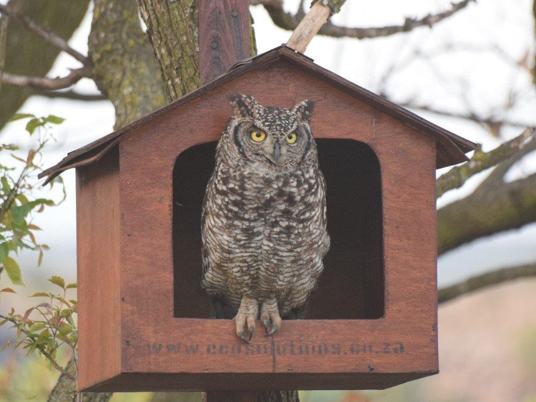 Spotted Eagle Owl Box - EcoSolutions - Shop Now | South Africa