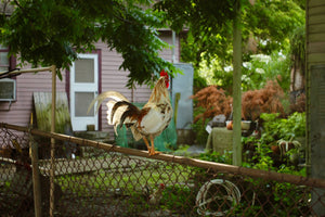 Chicken on Fence