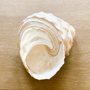 Pearlized Wavy Top  Shell