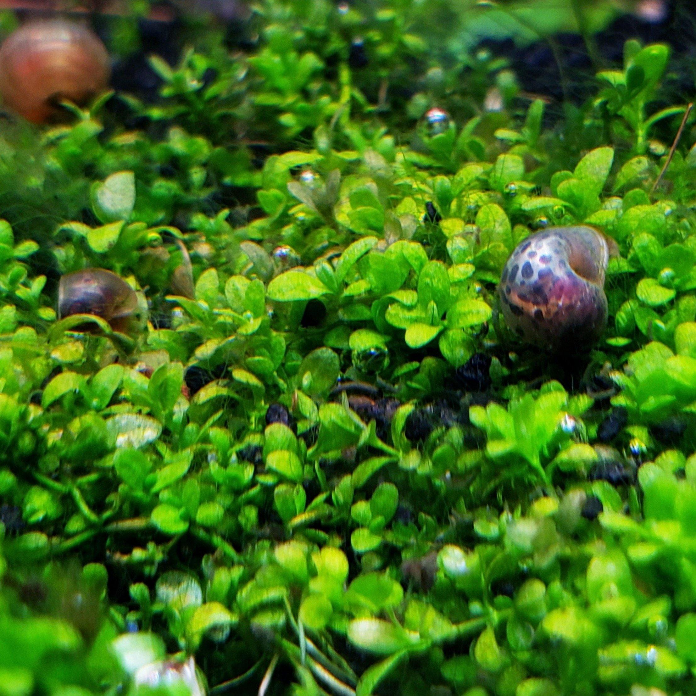 Dwarf Baby Tears - Windy City Aquariums