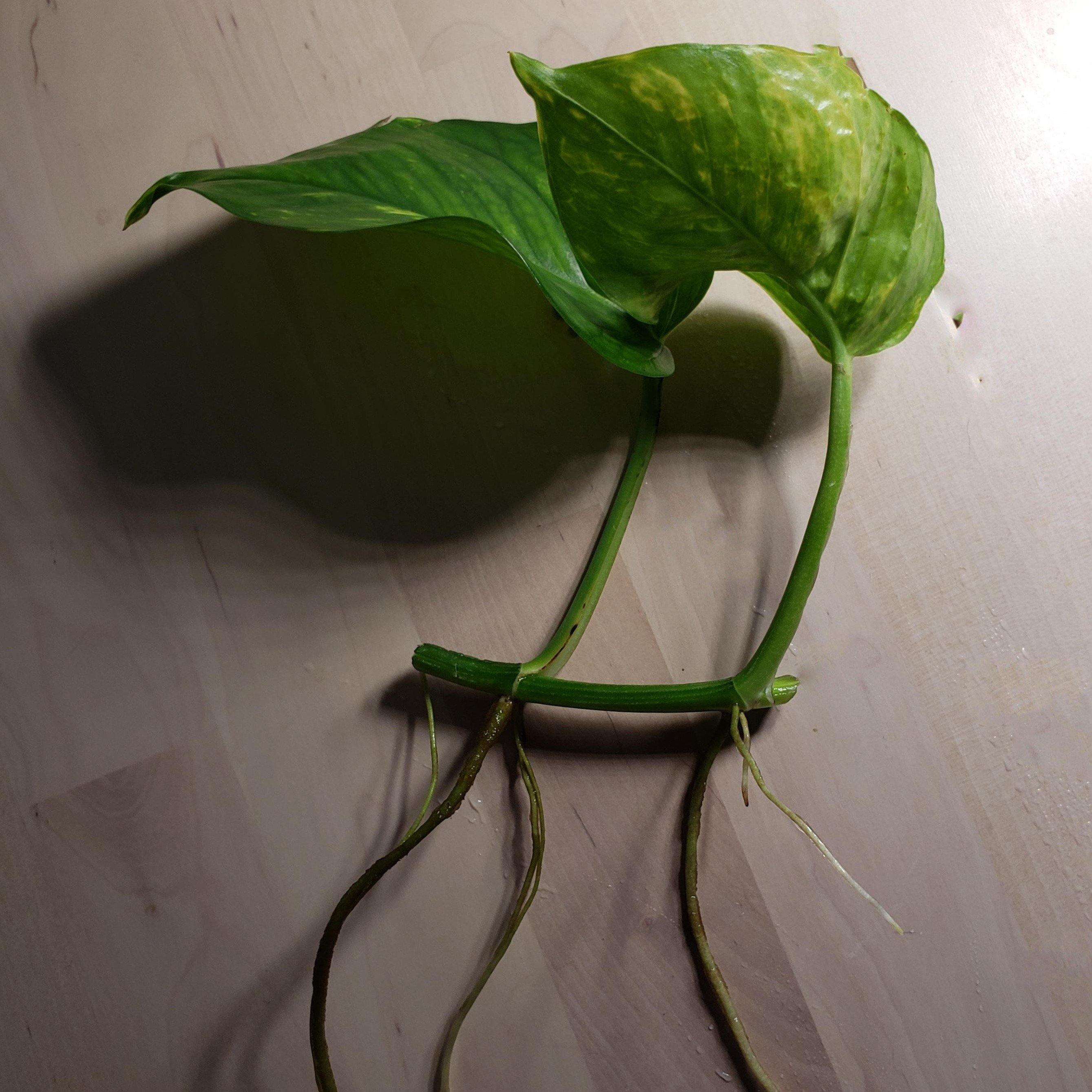 Golden Pothos Clipping (Semi-Aquatic) - Windy City Aquariums
