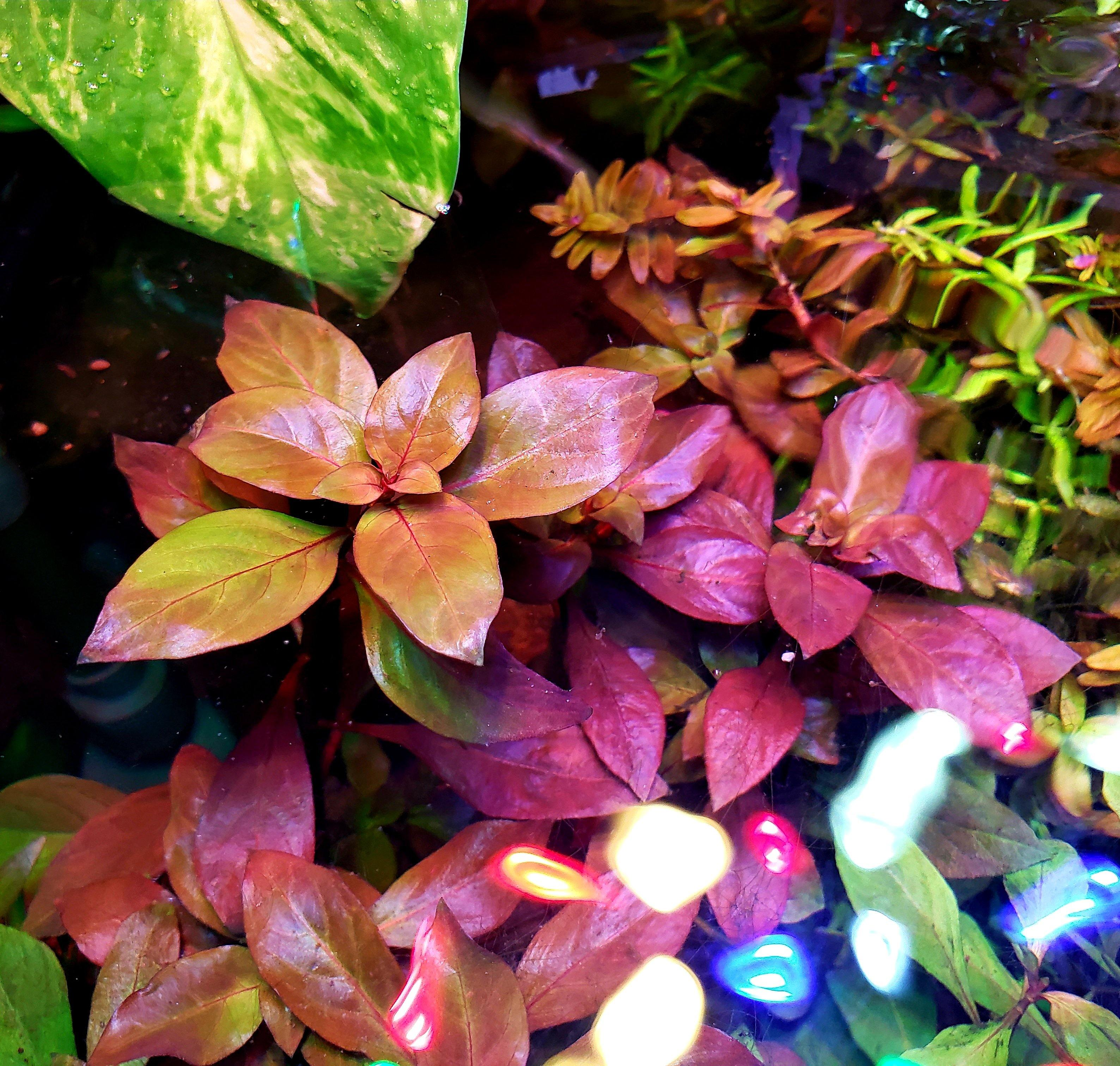 Ludwigia Ovalis - Windy City Aquariums