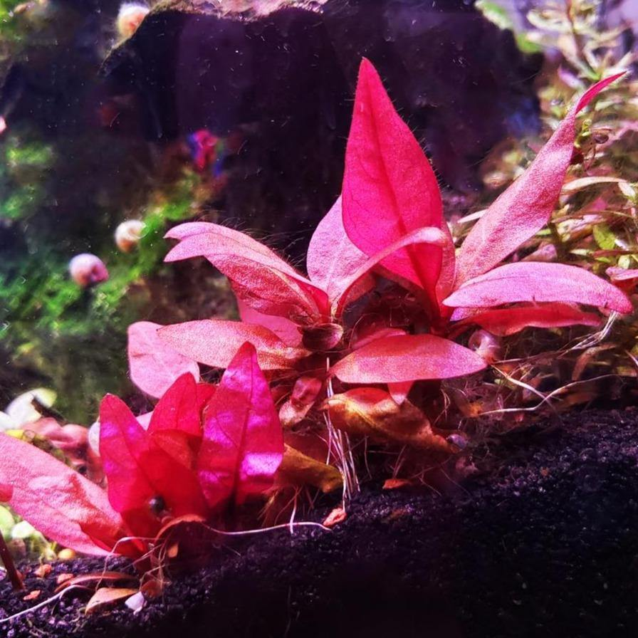 "Alternanthera Reineckii Pink ""Mini"" - Windy City Aquariums"