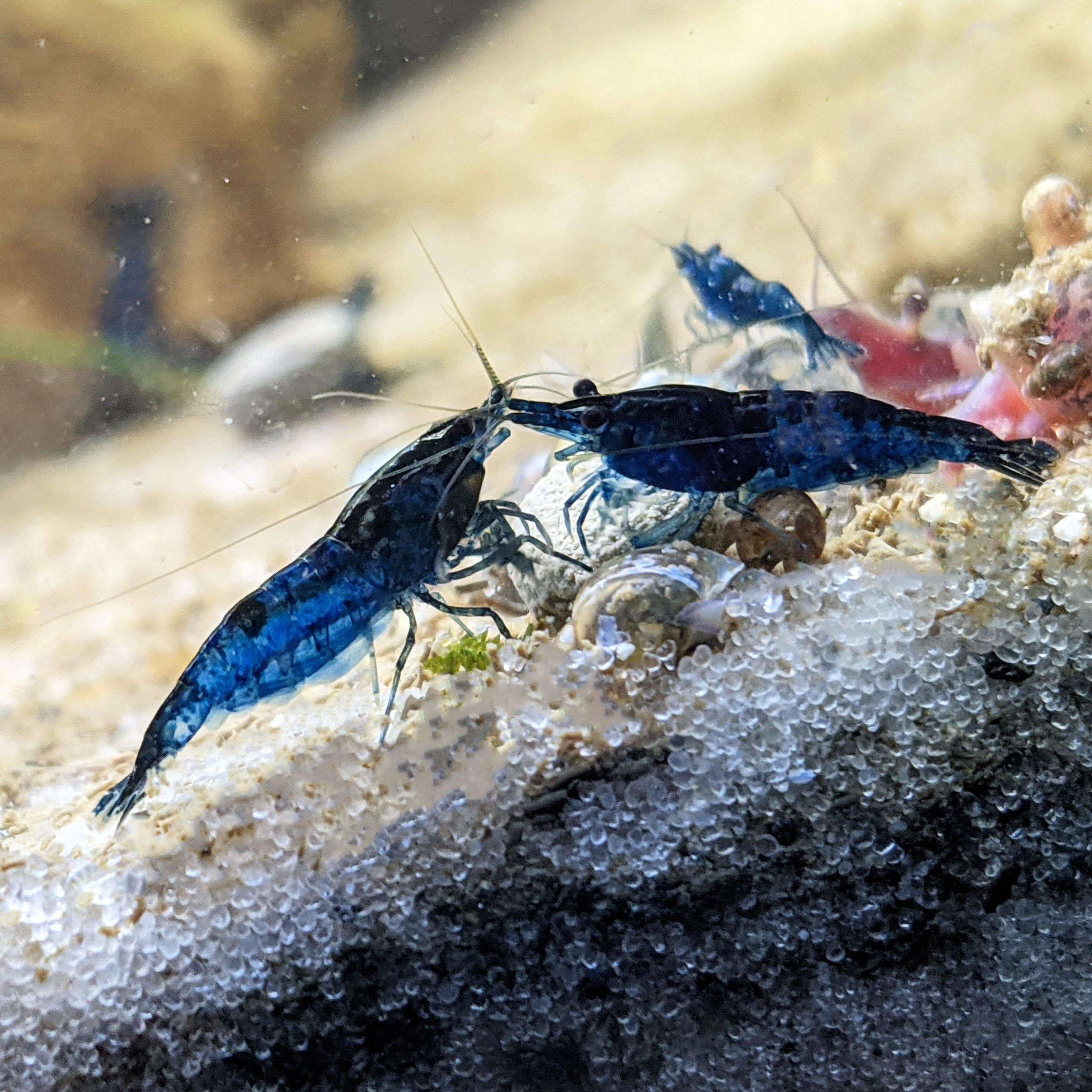 10 Blue Diamond Shrimp (Coming Soon!) - Windy City Aquariums
