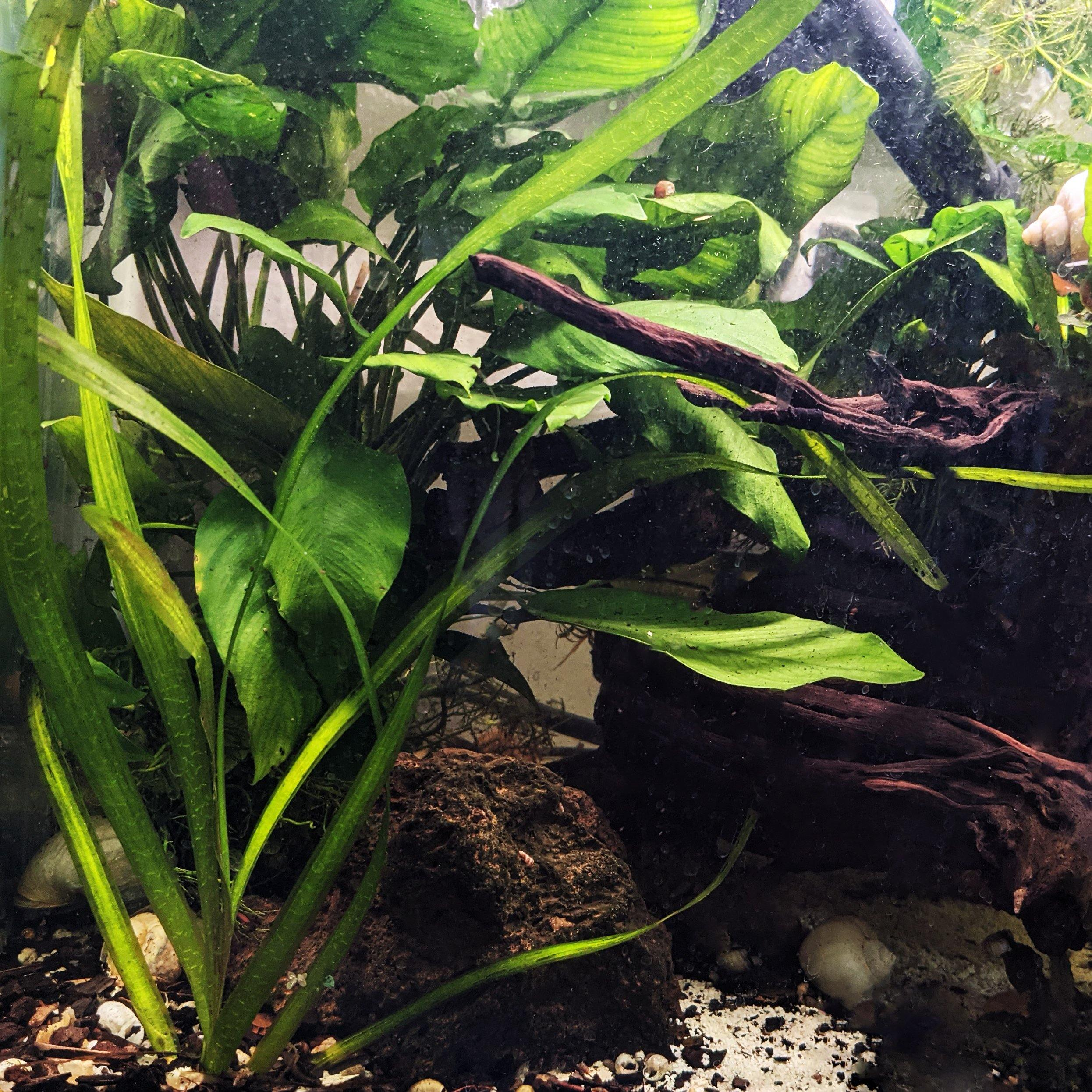 Jungle Vallisneria - Windy City Aquariums