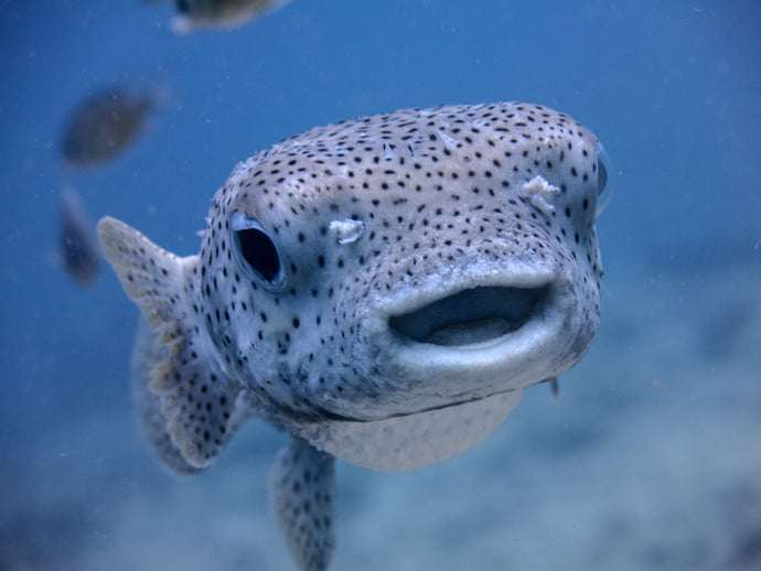 Pufferfish (the fish) make sand castles, too!