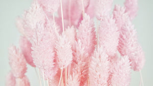 Dried phalaris - 1 bouquet -  Light pink