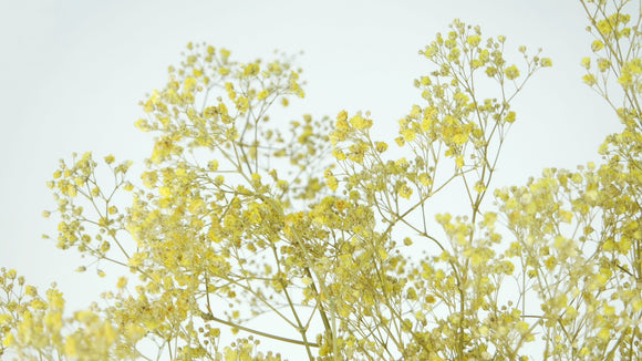 Preserved gypsophila - 1 bunch - Yellow