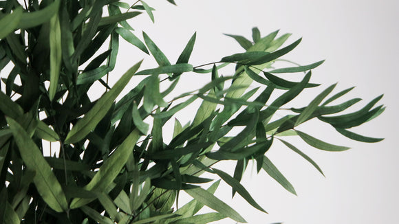 Stabilised eucalyptus Nicoli - 1 bouquet - Green