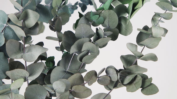 Stabilised eucalyptus Cinerea - 1 bouquet - Green