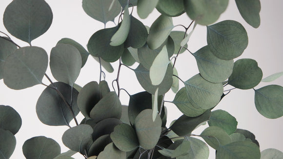 Stabilised eucalyptus Populus - 1 bouquet - Green