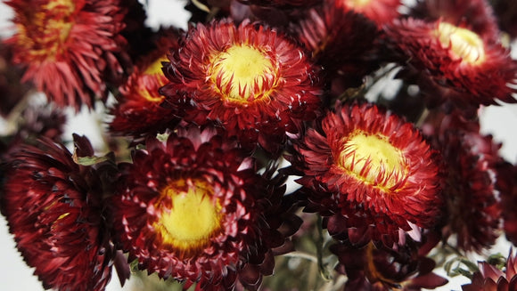 Dried strawflowers - 1 bouquet - Red