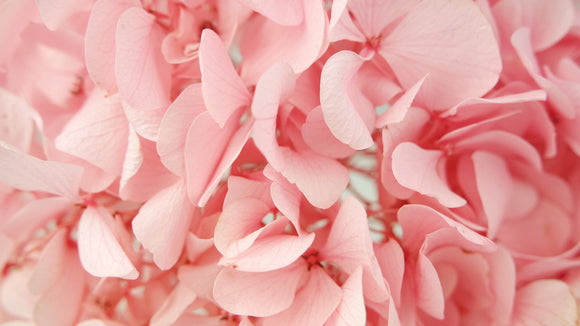 Stabilised hydrangea - 1 head - Light pink