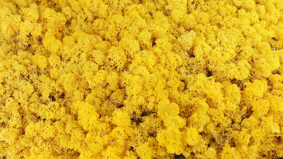 Stabilised lichen - 300 g - Yellow