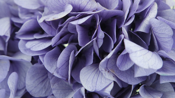 Stabilised hydrangea - 1 head - Purple