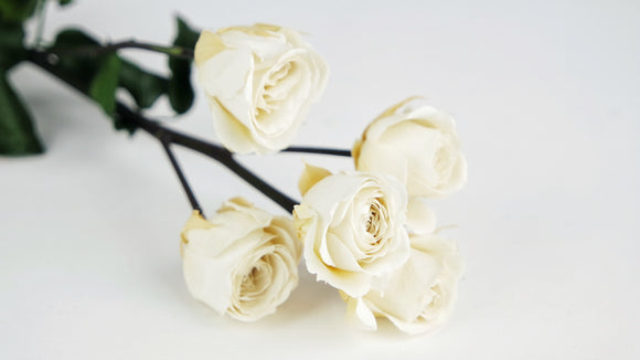 Preserved rose 5 heads on stem 37 cm - 1 Stem - Ivory