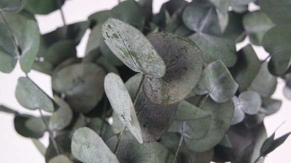 Stabilised eucalyptus Spiral - 1 bouquet - Green