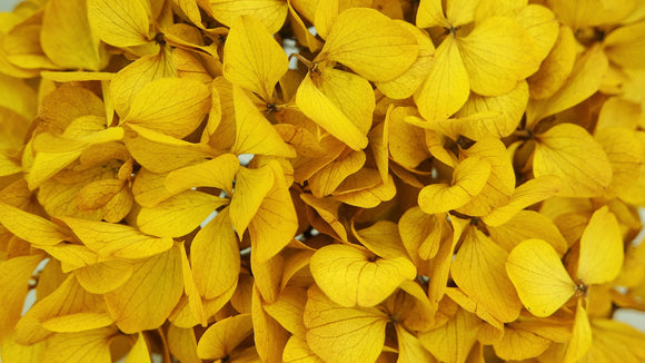 Stabilised hydrangea - 1 head - Saffron yellow