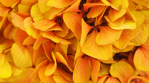 Stabilised hydrangea - 1 head - Saffron Yellow and Red