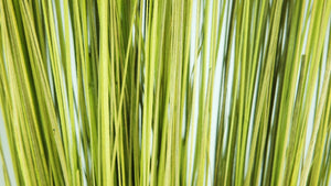 Stabilised Bright Grass - 1 bouquet - Green
