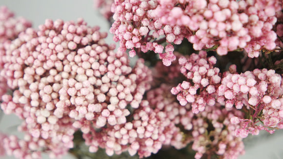 Stabilised rice flowers - 1 bouquet - Pink