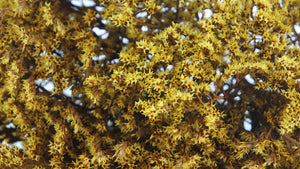 Dried tatarica - 1 bouquet - Yellow