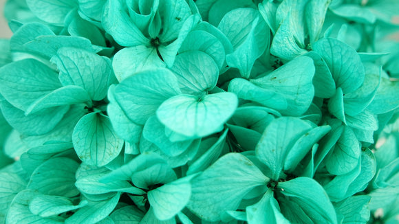 Stabilised hydrangea - 1 head - Turquoise blue