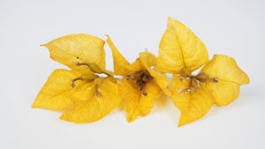 Stabilised Bougainvillea - 1 box - Yellow