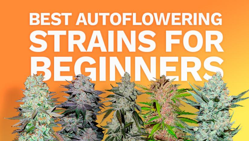 FastBuds The Best Autoflowering Strains for Beginners
