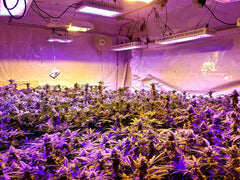 LED lights for autoflowering cannabis indoors